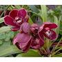 Orquidea Cymbidium Vermelho