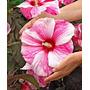 Hibisco Gigante Moscheutos Mix Semente Flor Para Mudas
