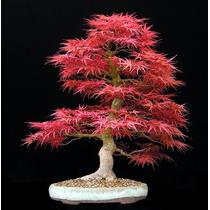Sementes De Acer Palmatum, Para Mudas Bonsai Arvore