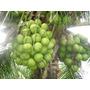 Muda De Coqueiro Anao Coco Verde 25 Mudas