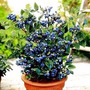 Blueberry Mirtilo Sementes Para Mudas+brinde