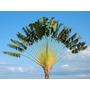 Sementes Árvore Do Viajante Ravenala Madagascariensis Mudas