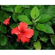 Hibisco Verde Flor Vermelha 50 Mudas