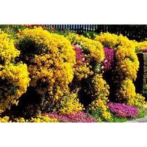 Alyssum Amarelo Cesto De Ouro - Sementes Flor Para Mudas