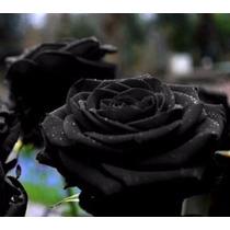 10 Sementes De Rosa Preta/negra (raras) + Frete Gratis