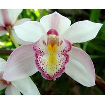 Frete Grátis - 5 Sementes De Orquídea Branca
