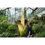 Muda Amorphophallus Titanum A Maior Flor Do Mundo Rarissimo
