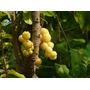 Muda De Groselha Tropical. Produz Em 2 Anos *bonsai Junior*