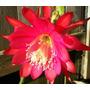 Mudas Epiphyllums Cactus Orquidea Estacas Adultas Flor Epis