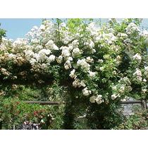 Rosa Trepadeira - Rosa Multiflora Flor Sementes Para Mudas