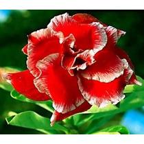 Adenium Obesum 100 Sementes Raras (20 Cores) Rosa Do Deserto