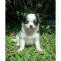 Filhote Femea Chihuahua Pelo Longo (frete Gratis)com Pedigre