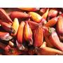 Frete Gratis Pinhão Araucária 5kg (reserva De Sementes)