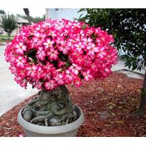 Orquidea Rosa Deserto Bonsai Jardim Muda Vaso Planta Flor