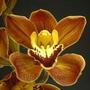 Orquidea Cymbidium Coral