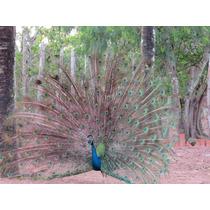Pavão Azul Macho