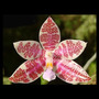 Muda De Orquídea Phalaenopsis Multiflora Linda Fácil Cultivo