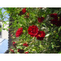 Muda Rosa Trepadeira Vermelha Escura - Flores Mini Em Cachos