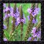 Verbena Officinalis - Sementes Erva Flor Para Mudas