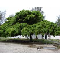 Figueira Benjamin - Ficus Benjamina - Sementes Para Mudas