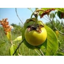 Muda De Murici Do Cerrado. 20 A 35cm. Fruto Delicioso.