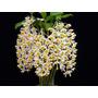 Orquidea Dendrobium Thyrsiflorum Adulta