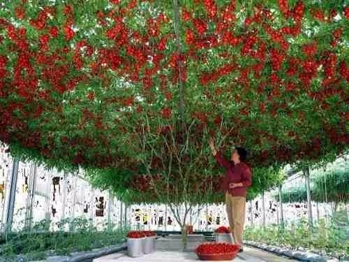 100 Sementes Tomate  Árvore Italiano Gigantela Frete Gratis
