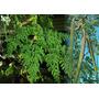 500 Sementes De Moringa Oleifera (frete Grátis)