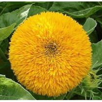 Sementes De Girassol Anão Dobrado Flores De Vaso E Jardim