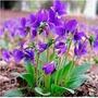 Bonsai Violeta Rainha Africana 20 Sementes