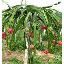 Mudas De Pitaya Orgânicas Com Mais De 50cm.