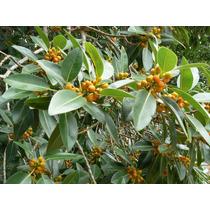 Figueira Port Jackson Ficus Rubiginosa - Sementes Para Mudas