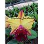 Orquideas Cattleyas Meristema