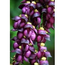 1 Semente Jade-mucuna Sempervirens-trepadeira Rarissima