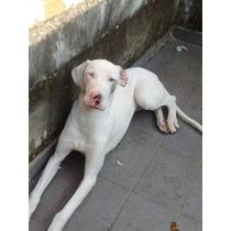 Dog Alemão Fêmea Olhos Azuis Com 7 Meses