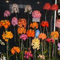 Orquídea Epidendrum Cores Diversas