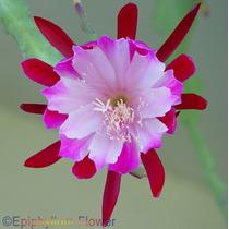2 Estacas P/mudas Cactus Orquidea-epiphyllum