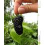 Muda Frutífera De Amora Gigante