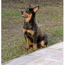 Filhote Fêmea Australian Cattle Dog Com Registro