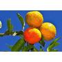 50 Sementes De Limao Rosa Limão Cravo Limão Galego