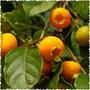 Guabiroba Ou Guavirova - Muda Frutífera