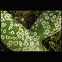 Samambaia De Formiga, Planta Exótica, Facil Cultivo, Linda