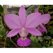 Cattleya Walkeriana Concolor Neon - Corte Adulto