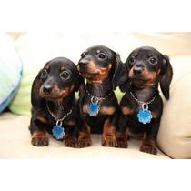 Lindos Filhotes De Basset Teckel, Só Com A Equipe Pet Store