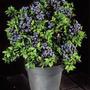 Blueberry - Muda De Mirtilo + Adubo