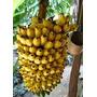 Banana Maçã - 01 Muda Micro-propagada P/ Apenas R$ 14,70