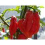 Sementes De Buth Bhut Jolokia A Pimenta Mais Forte Do Mundo
