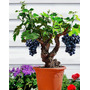 20 Sementes Uva Colorida Planta Bonsa + Frete Grátis