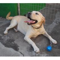 Doação De Dois Lindos Labradores!