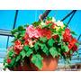 Lanterna Chinesa Abutilon Sortido - Semente Flor P/ Mudas